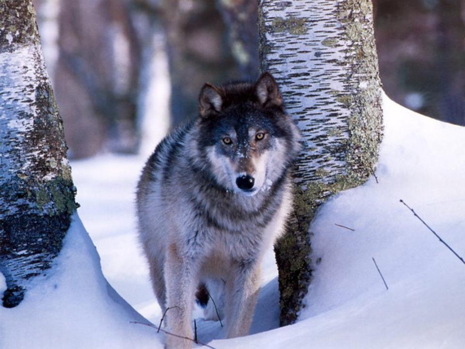 Волк и время картинки